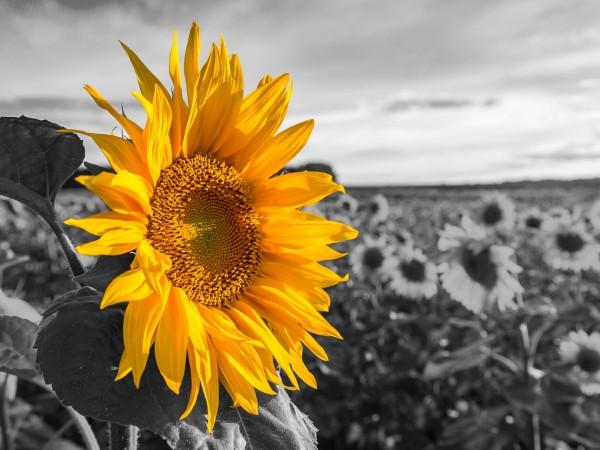 """Spiegelprofi 80621017 Leinwandbild MALIK Leinwandbild """"Sonnenblumenfeld"""" 80 x 60cm Bild Kunstdruck"""