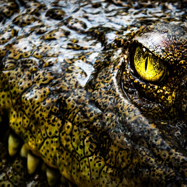 "Spiegelprofi 80551007 Leinwandbild Leto X Leinwandbild ""Hellhöriges Krokodil"" 35 x 35cm Bild Kunstdruck"